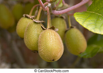 Kiwi Fruit - Kiwi fruit on the tree