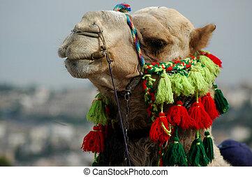 árabe, camello