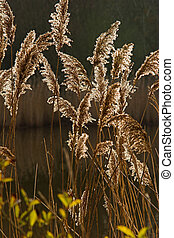 Backlit reeds 5481 - Backlit reed heads in sunlight