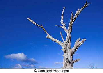 Dead tree 5518 - Dead tree against a blue sky