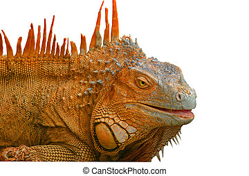 Orange Scales - Green Iguana. Costa Rica.