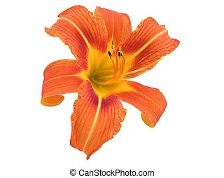 Orange Daylily Iso - This beautiful isolated orange daylily...