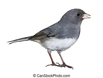 Black-Eyed Tease - Dark-eyed Junco, Junco hyemalis