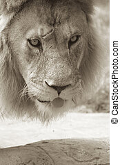 Waterhole - A sepia shot of an African lion drinking at a...