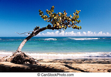 Crooked tree on the beach near Puerta Plata, Dominican...