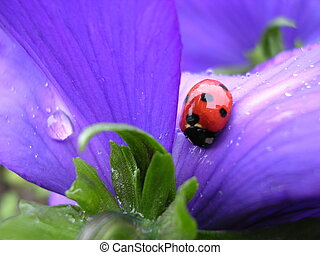 Here is wet - The ladybird on a flower