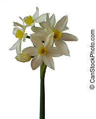 Paper White Narcissus - single flowering paperwhite...