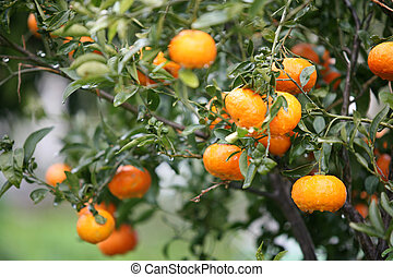 Abundant oranges - An abundance of oranges, or clementines,...
