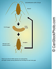 Cockroach. - The life-cycle of a cockroach.