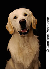 golden retriever - portret of a dog