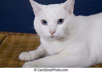 Cat - White Cat