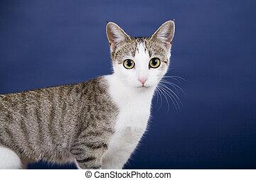 Cat - Tabby Cat