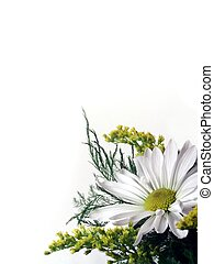 Daisy On White - Daisy, flowers and Foliage on White