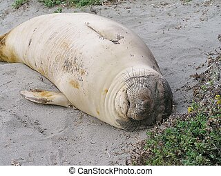 Elephant seal - Juvenile elephant seal