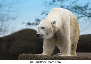 Polar Bear - Beautiful white polar bear on a rocky ledge.