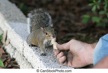 Hand Fed Squirrel - A squirrel taking a peanut from a man\'s...