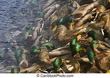 Blended - Mallard ducks waiting for people to feed them