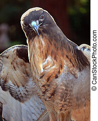 Red Tail Hawk Portrait