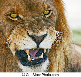Jungle Mouth - African Lion, Panthera Leo