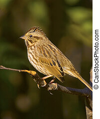 Song In My Heart - Song Sparrow, Melospiza melodia.Very...