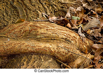 Tropical Tree Root, Ho\\\'omaluhia Botanical Gardens - Photo...