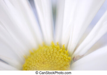 Softness - Impressionistic close-up of daisy head