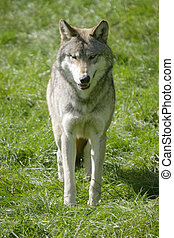 Wolf - A Canadian Grey Wolf