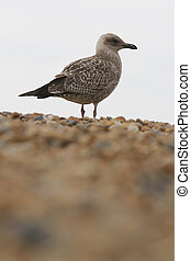 Sea Gull - A sea gull on a pebble beach