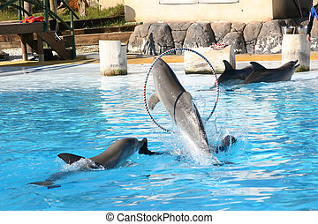 dolphin through hoop - dolphin jumping through a hoop