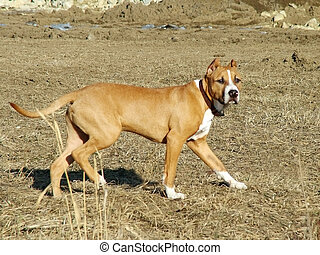 American Staffordshire - 7-month American Staffordshire pup