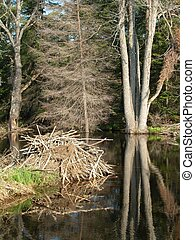 Beaver Pond and Lodge in Gatineau Park, Quebec near Ottawa,...