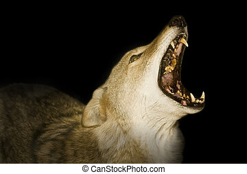 "Red Wolf - \""Canis Ru - Red wolf howling in the darkness."