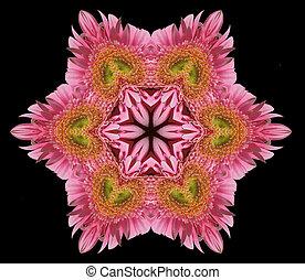 Cor-de-rosa, flor, Mandala