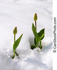 Tulips in snow - Two tulips in snow