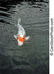 fish - white and orange fish