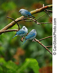 Treesome - Tanager, Blue-Grey, Thraupis episcopus, Arenal...