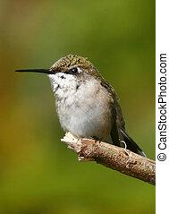 Alert - Perching Hummingbird