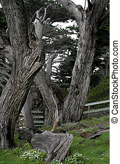 ghost - dead trees in Pebble Beach in Monterey