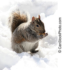 Peanut Muncher - Peanut munching squirrel with snowy...