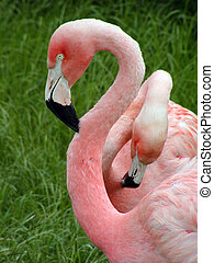 Two Flamingo\\\'s - Two flamingo\\\'s in a green field