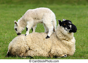 Resigned - A sheep lying in a field in spring with a lamb...