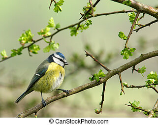 Blue Tit - Blue tit sitting on the branch of a hawthorn tree...