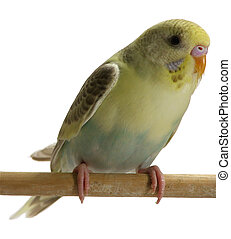 セキセイインコ,  -, 鳥