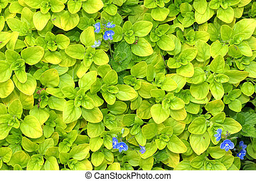 Oregano - Fresh growing herb oregano with blue flowers