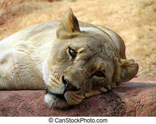 Lion\\\\\\\'s Eye - Lioness Relaxing on a rock