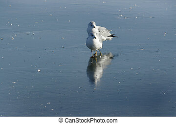 Ice, lake, gulls - Gulls on Ice