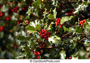 Holly bush taken with shallow DOF