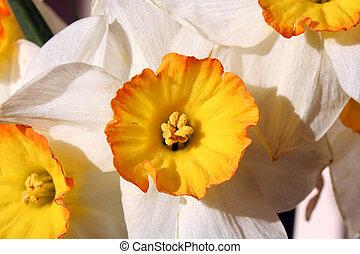 Narcissus - A closeup of narcissus