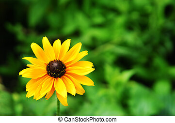 Summer Sun - Small sunflower style plant with narrow DOF