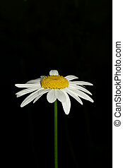Ox Eye Daisy - An ox eye daisy set against a black...